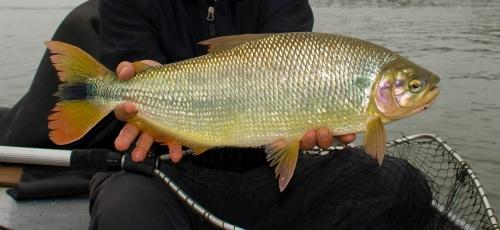 freshwater-dorado_24