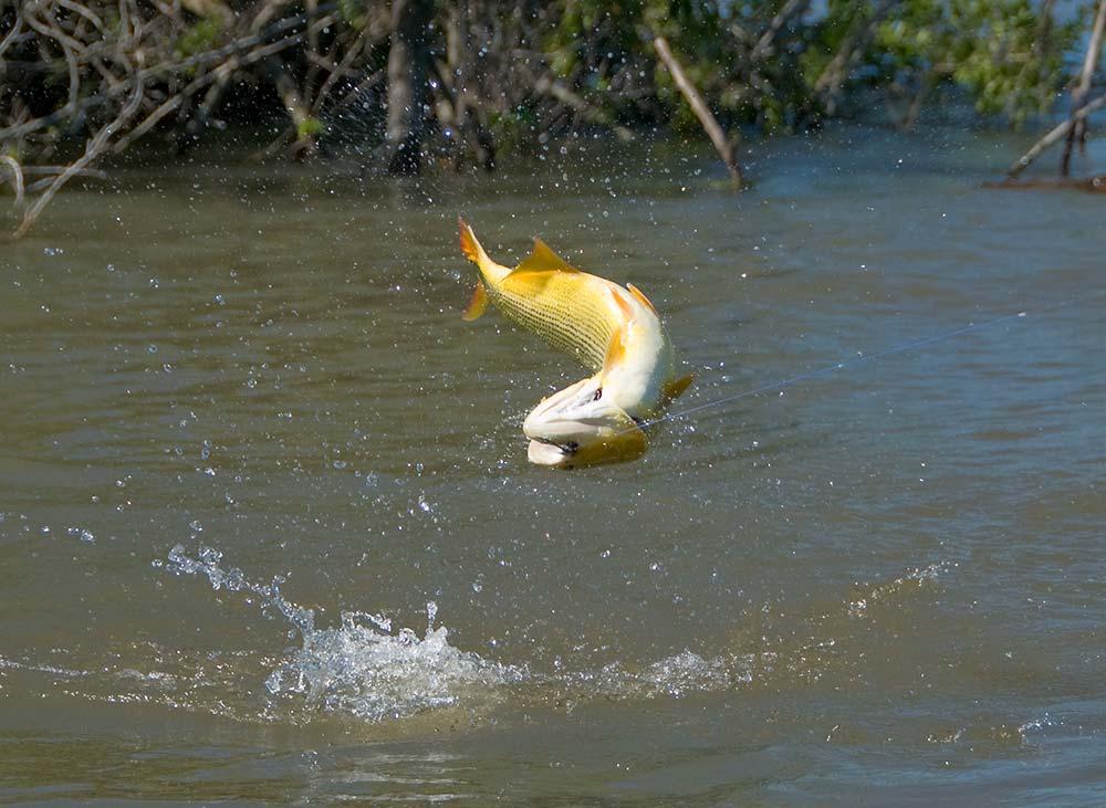 Golden dorado 10 for Parana the fish