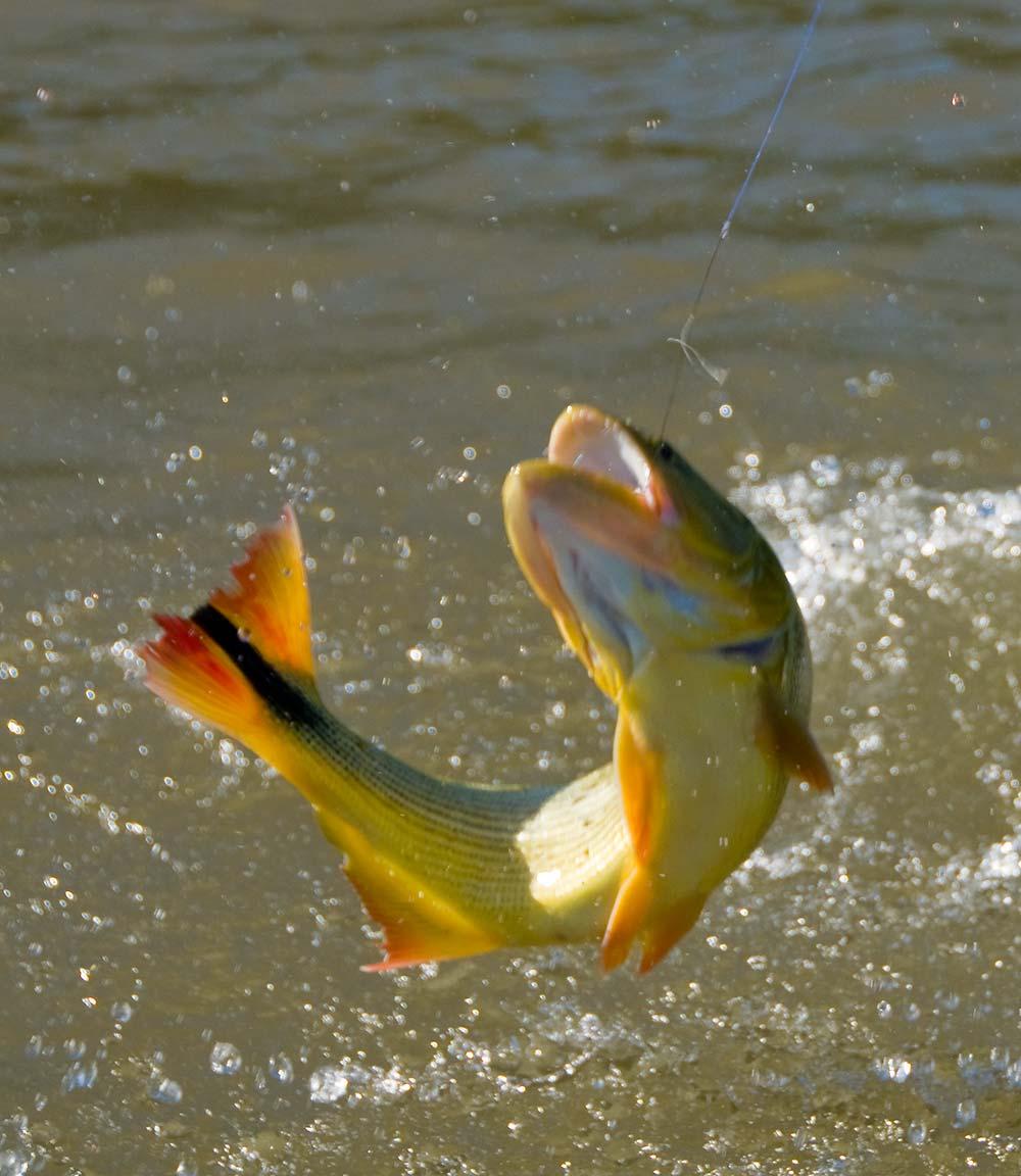 Golden dorado 7 for Parana the fish